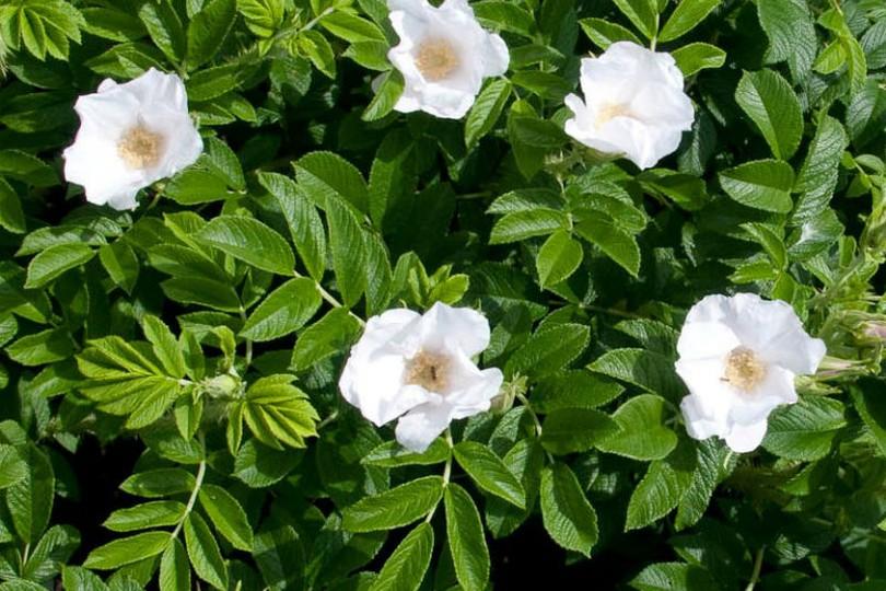 wyjątkowa róża rosa rugosa